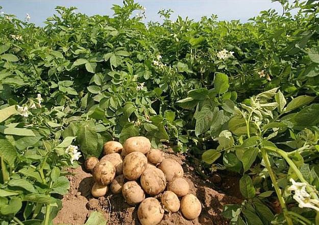 Молодая картошка выкапывается для употребления в пищу
