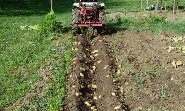 Сбор урожая картошки с помощью мотоблока