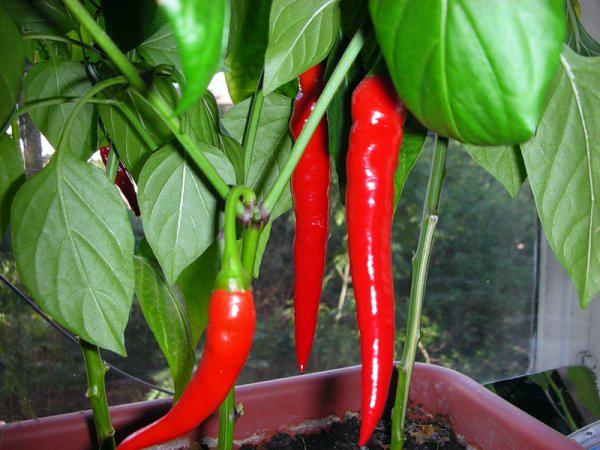 Красный перец растет на подоконнике