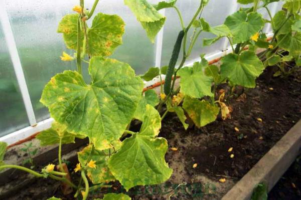 Ложная мучнистая роса на парниковых огурцах
