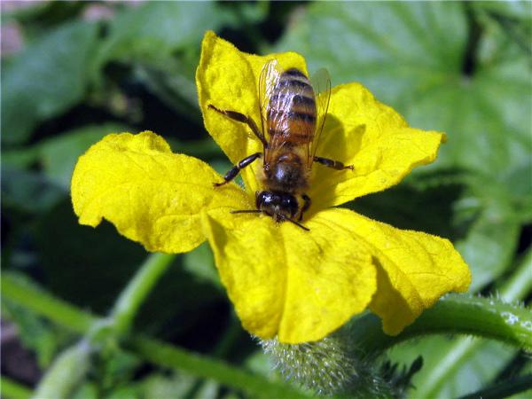 Огурцы, опыляемые насекомыми, высаживаются в открытый грунт
