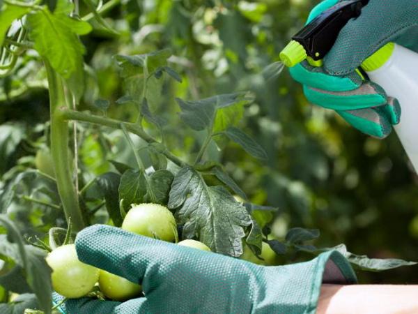 Опрыскивание помидоров специальным препаратом