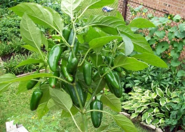 Выращивание перца Халапеньо на даче