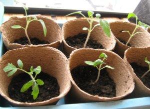 Посадка помидоров на рассаду в торфяные горшочки