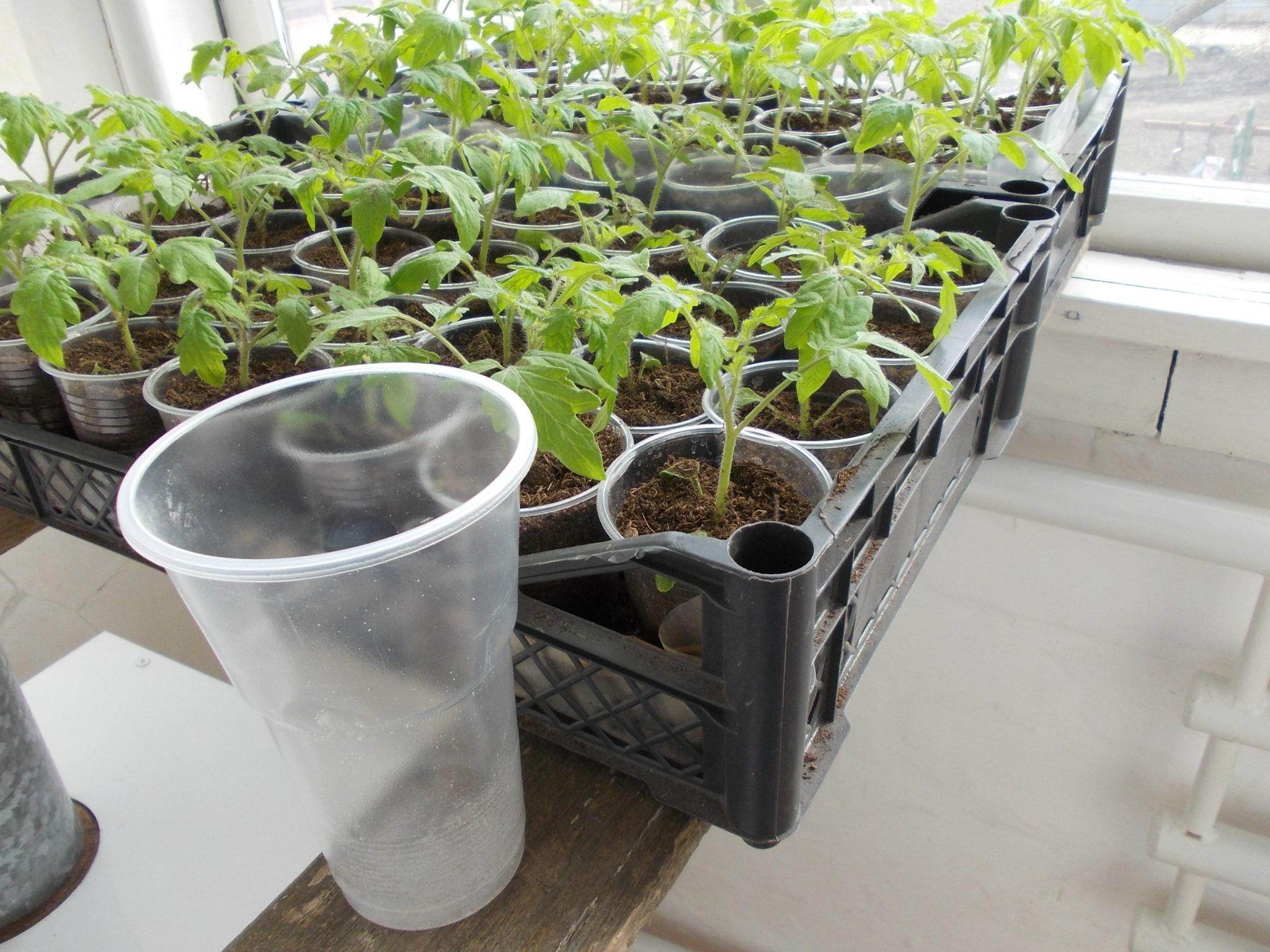 Рассада томатов, пикированная по пластиковым стаканчикам