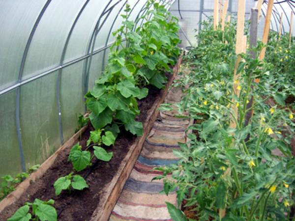 Неудачное соседство огурцов и томатов в теплице