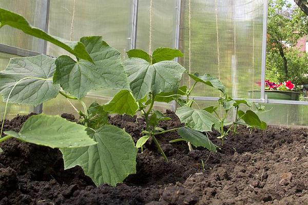 Почва под огурцами должна быть чуть влажной