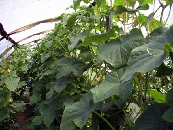 Загущенность огуречных посадок может влиять на плодоношение