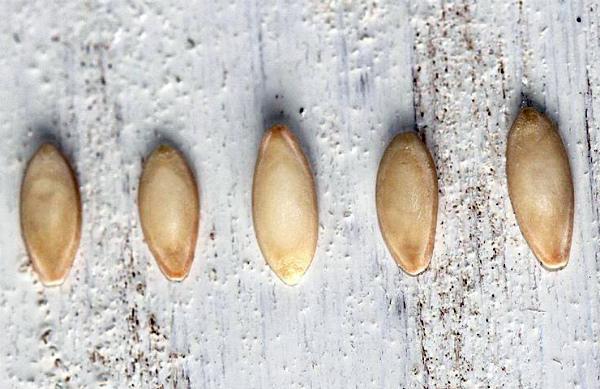 Будущий урожай огурцов зависит от качества семян