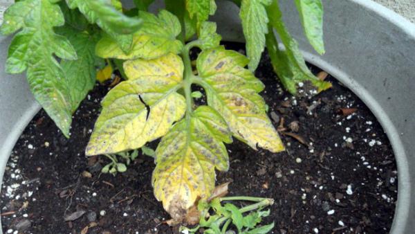 Характерный цвет листьев томата говорит о нехватке азота