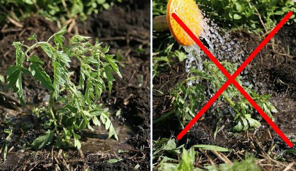 Правила полива томатов: как можно и как нельзя поливать