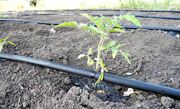 Правильный полив рассады томатов в открытом грунте