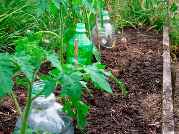 Организация капельного полива томатов с помощью пластиковых бутылок