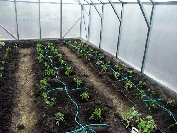 Система капельного полива томатов в теплице