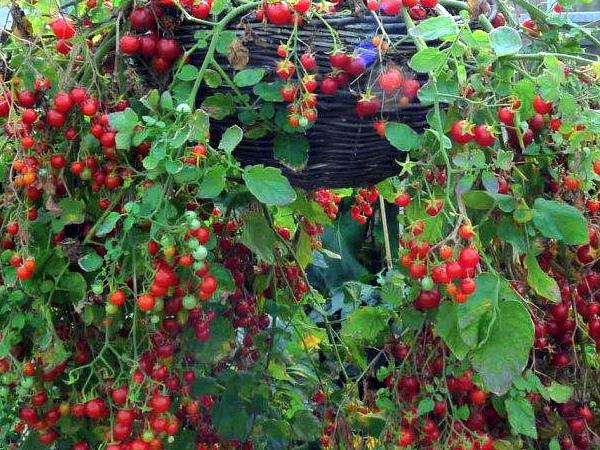 Подвесные корзины с помидорами черри
