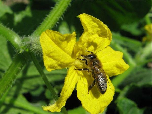 Опыление цветов огурца пчелами