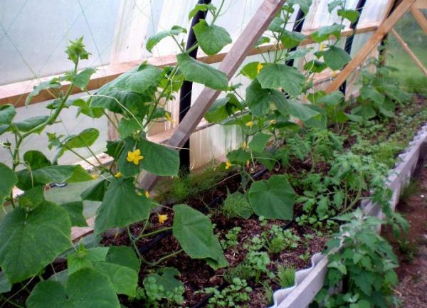 Важно создать для парниковых огурцов оптимальные условия содержания