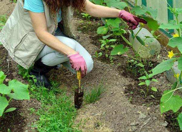 Сбалансированная подкормка огурцов для профилактики пустоцветов