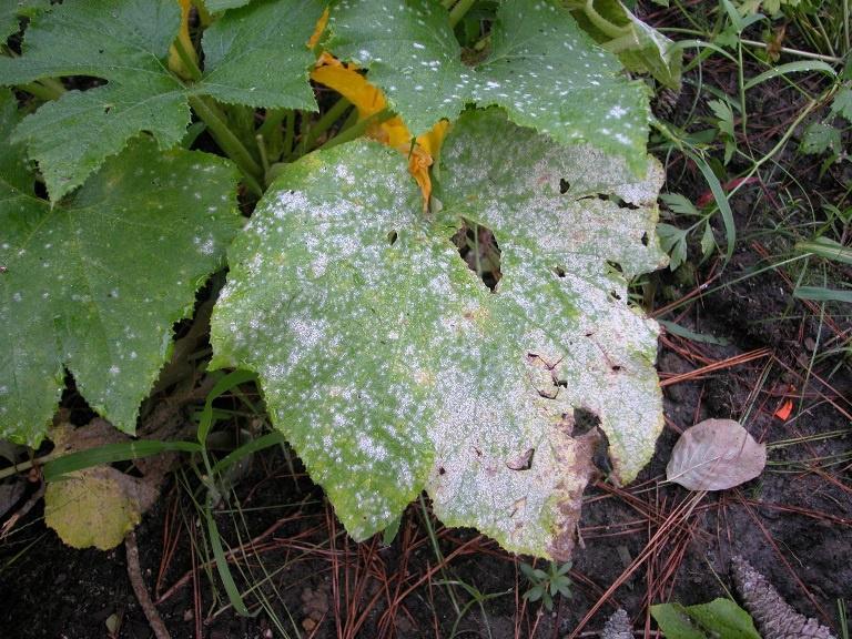 Мучнистая роса на листках огурцов