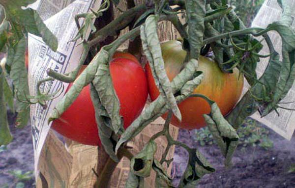 Листья томатов скрутились из-за высокой температуры в теплице