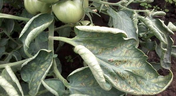 Признаки болезни на листочках томата