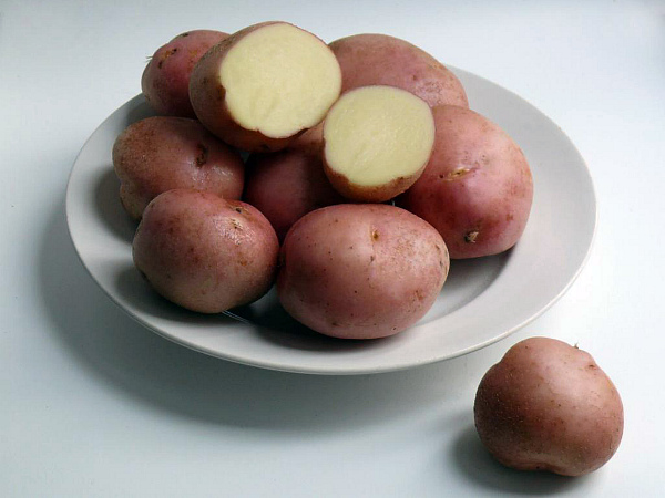 Корнеплоды элитного картофеля Романо
