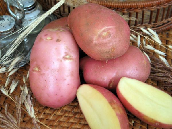 Клубни картофеля Ред Скарлет