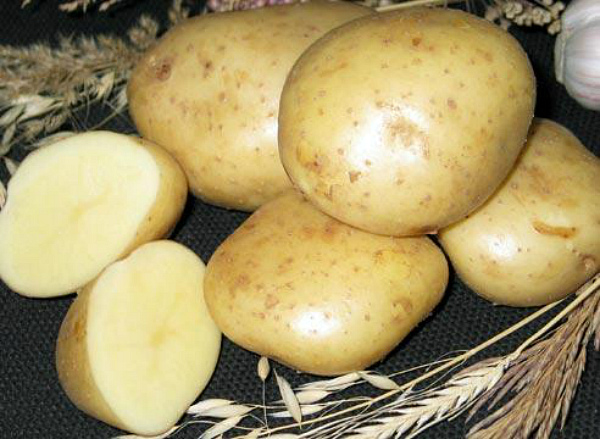 Селекционный сорт картофеля Тимо