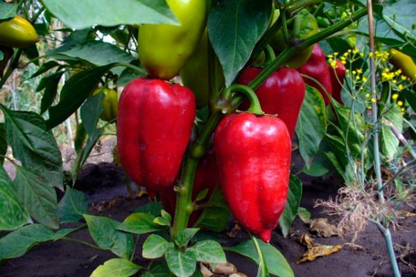 Плоды сладкого перца Айвенго