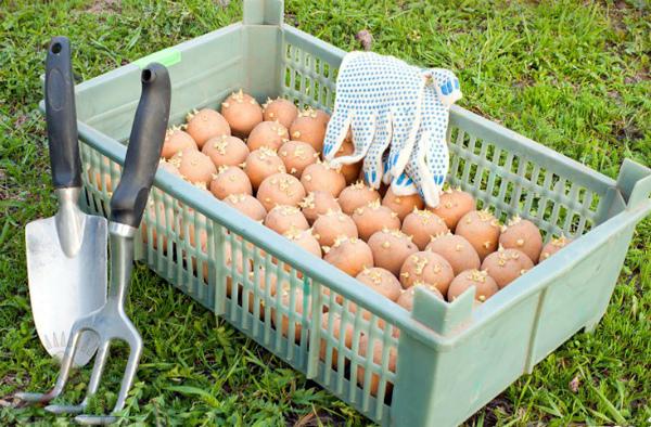 Подготовка клубней к высадке в землю