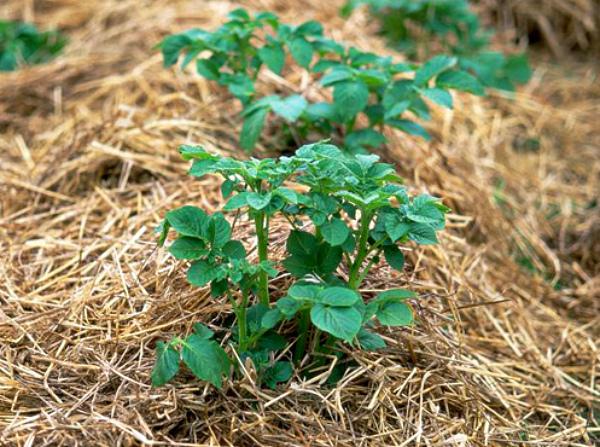 Метод выращивания картофеля под соломой