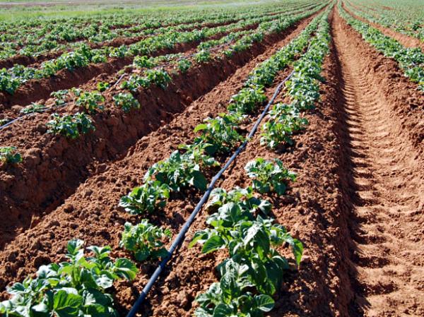 Голландский метод (по Митлайдеру) выращивания картофеля