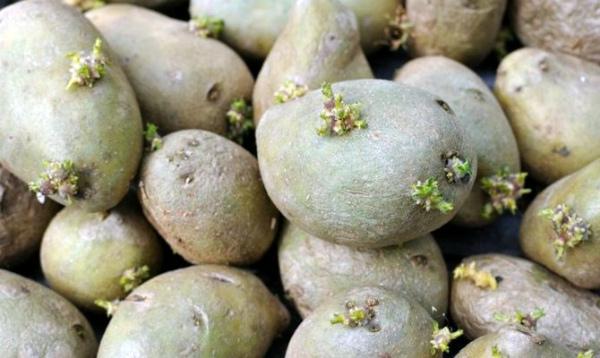 Клубни картофеля, подготовленные для выращивания