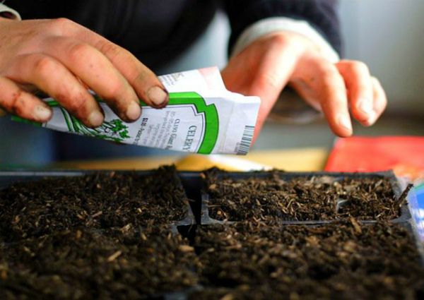 Посев семян огурцов для выращивания на балконе