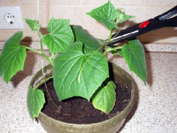 Пасынкование огурца, выращиваемого в цветочном горшке
