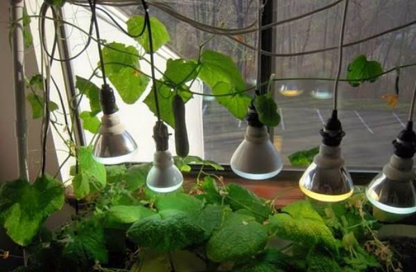 Дополнительное освещение огурцов, выращиваемых на балконе