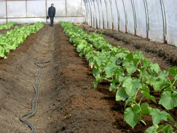 Увлажнение земли в теплице с помощью шланга