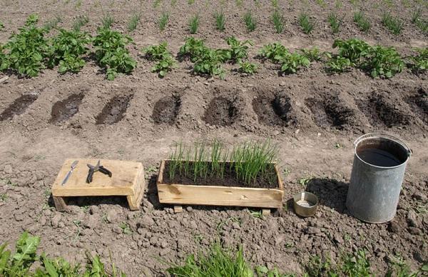 Зеленый лук на огороде