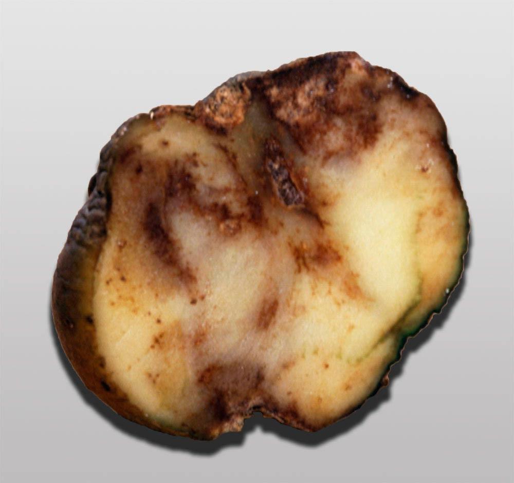 Гниение картофеля из-за фитофторы