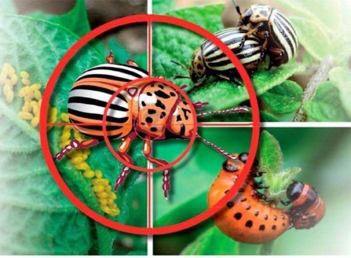Колорадские жуки под прицелом