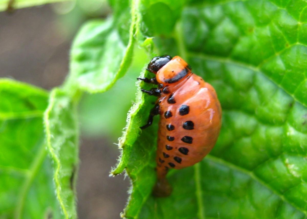 Личинка колорадского жука на листе картофеля