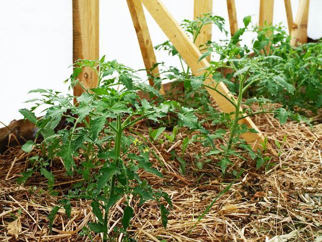 Мульчирование томатов в теплице