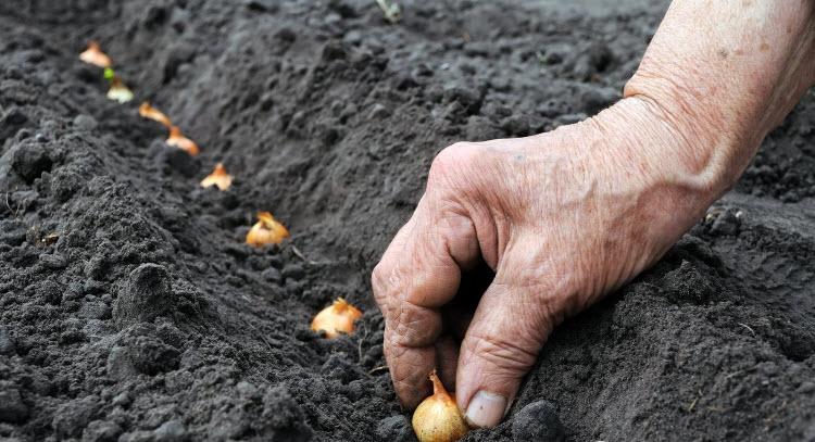Посадка лука севка в землю