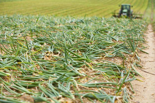 Приклоненный к почве лук