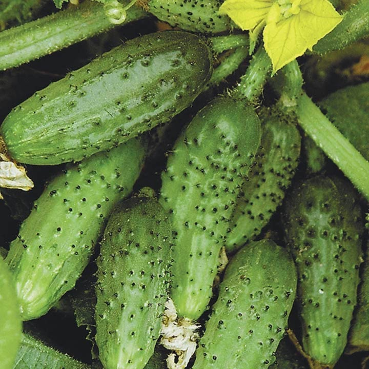 Пример урожая пучковых огурцов