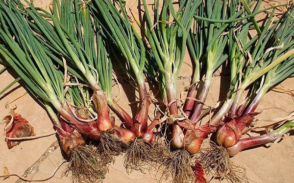 Описание и особенности выращивания разновидностей лука-шалот