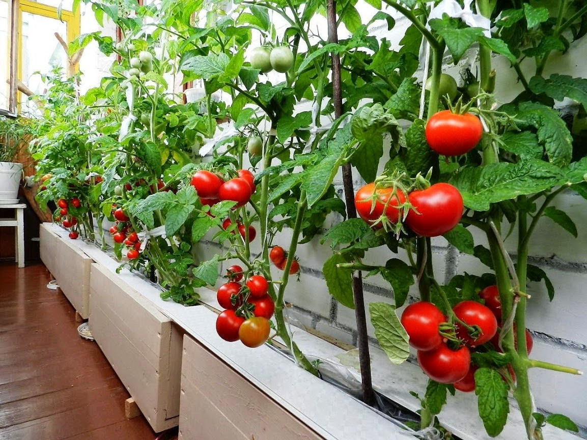 Спелые томаты на балконе