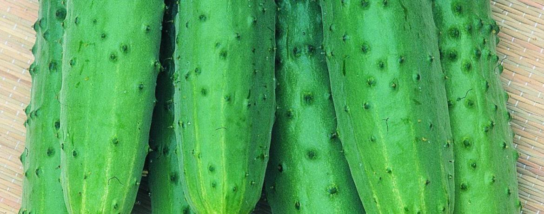 Внешний вид огурцов сорта Зозуля