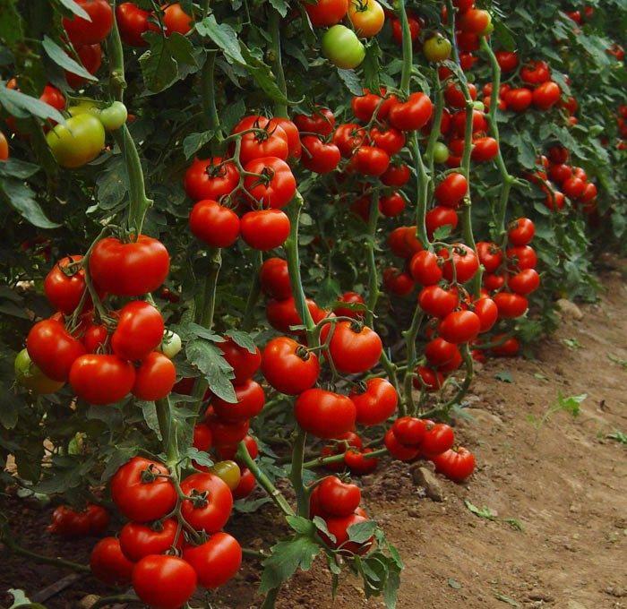 Индетерминантные томаты на грядке