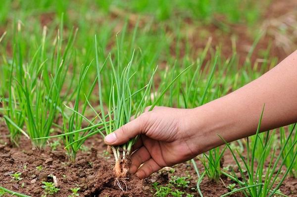 Зеленый лук в руках